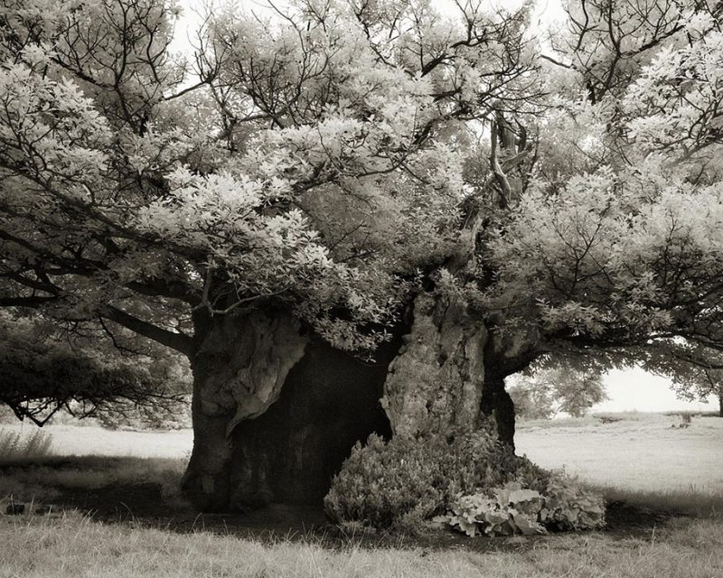 ancient-worlds-oldest-trees-photographs-beautiful-nature-photography (14)