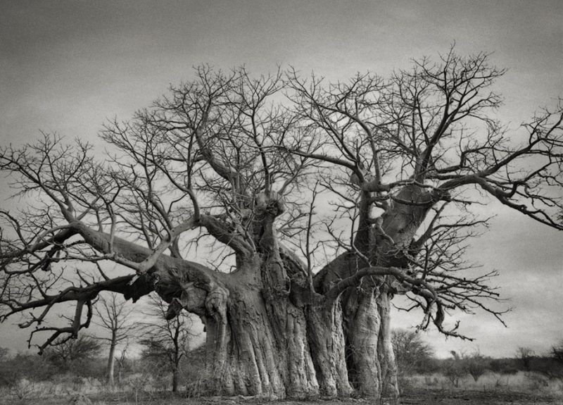 ancient-worlds-oldest-trees-photographs-beautiful-nature-photography (16)