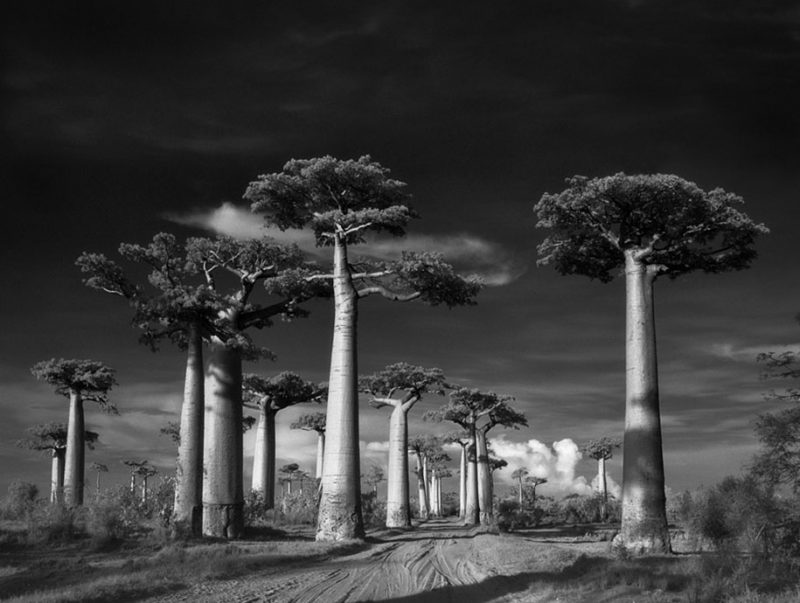 ancient-worlds-oldest-trees-photographs-beautiful-nature-photography (18)