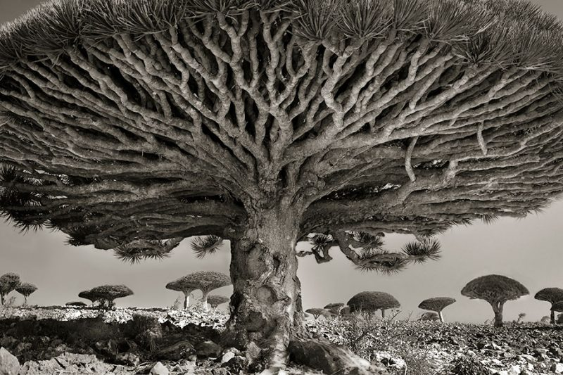 ancient-worlds-oldest-trees-photographs-beautiful-nature-photography (19)