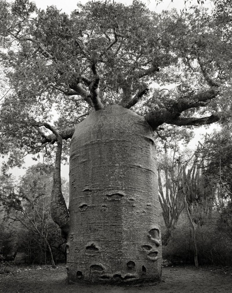 ancient-worlds-oldest-trees-photographs-beautiful-nature-photography (3)
