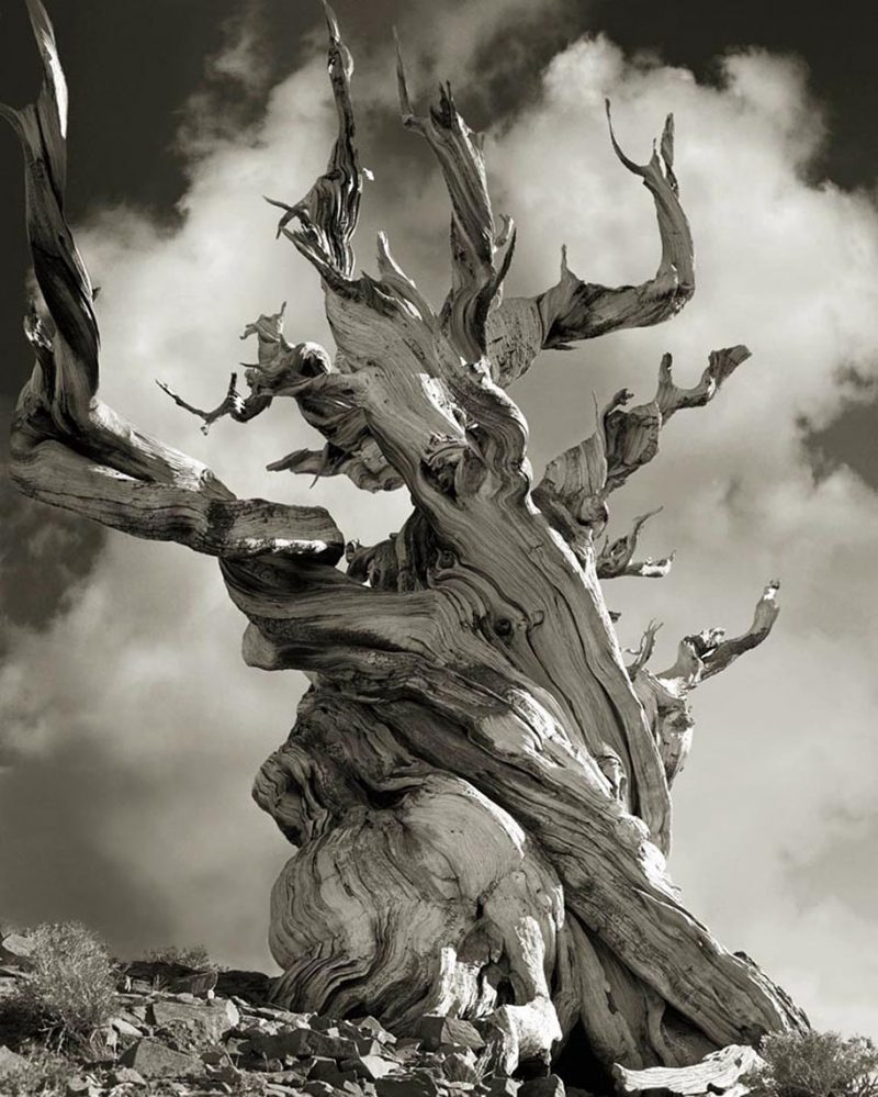 ancient-worlds-oldest-trees-photographs-beautiful-nature-photography (9)