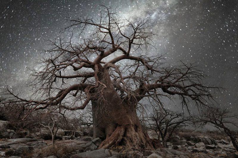 beautiful-photos-worlds-oldest-trees-starlight-diamond-nights (2)