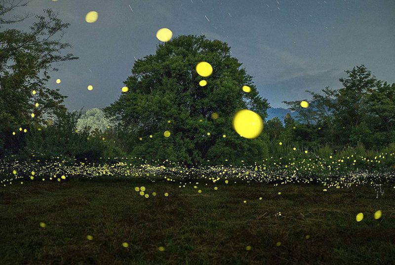 beautiful-pictures-of-fireflies-long-exposure-photography-japan (10)