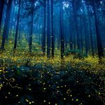 Mesmerizing photographs of fireflies at the Land of the Rising Sun, Japan, 2016