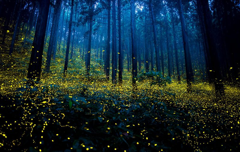 beautiful-pictures-of-fireflies-long-exposure-photography-japan (2)