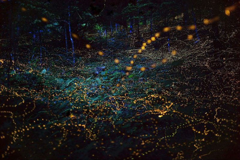beautiful-pictures-of-fireflies-long-exposure-photography-japan (4)