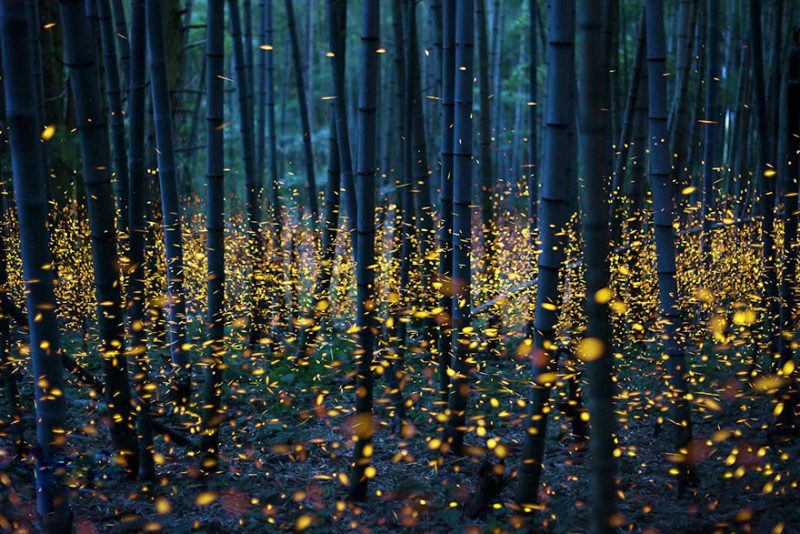 beautiful-pictures-of-fireflies-long-exposure-photography-japan (5)