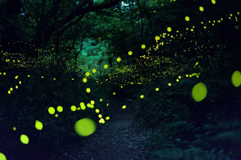 beautiful-pictures-of-fireflies-long-exposure-photography-japan (6)