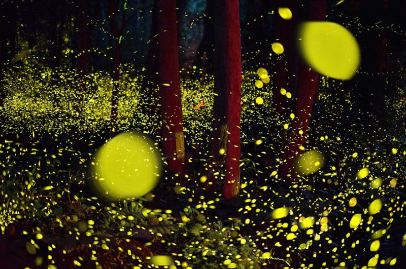 beautiful-pictures-of-fireflies-long-exposure-photography-japan (8)