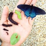 One man all by himself repopulates rare pipevine swallowtail butterfly in his backyard