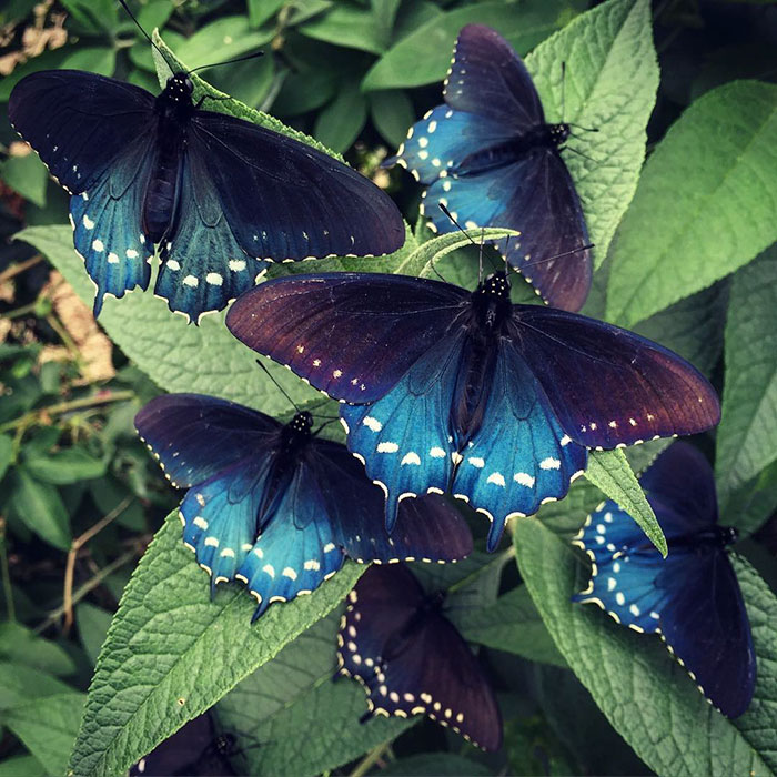 one-man-repopulates-rare-california-blue-swallowtail-pipevine-butterfly-in-back-yard (8)