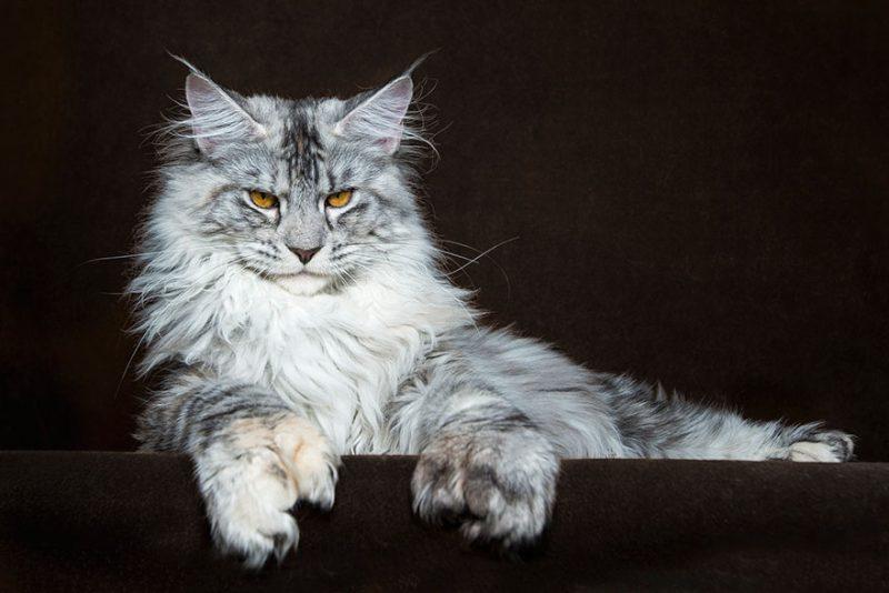 biggest-cat-maine-coon-photographs (1)