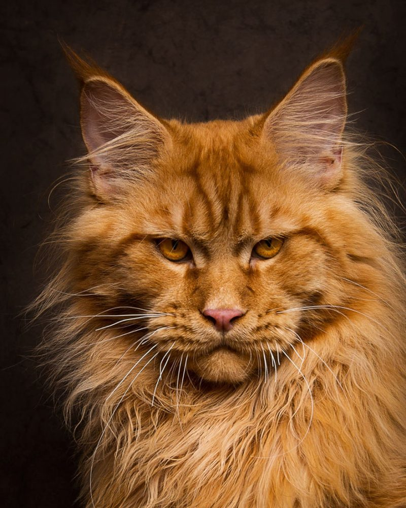 Mesmerizing portraits of Maine Coons look like royal ...