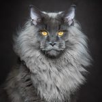 Mesmerizing portraits of Maine Coons look like royal mythical beasts