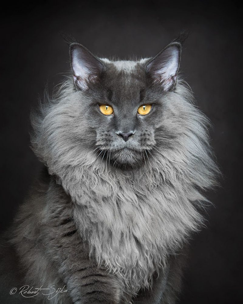 biggest-cat-maine-coon-photographs (12)