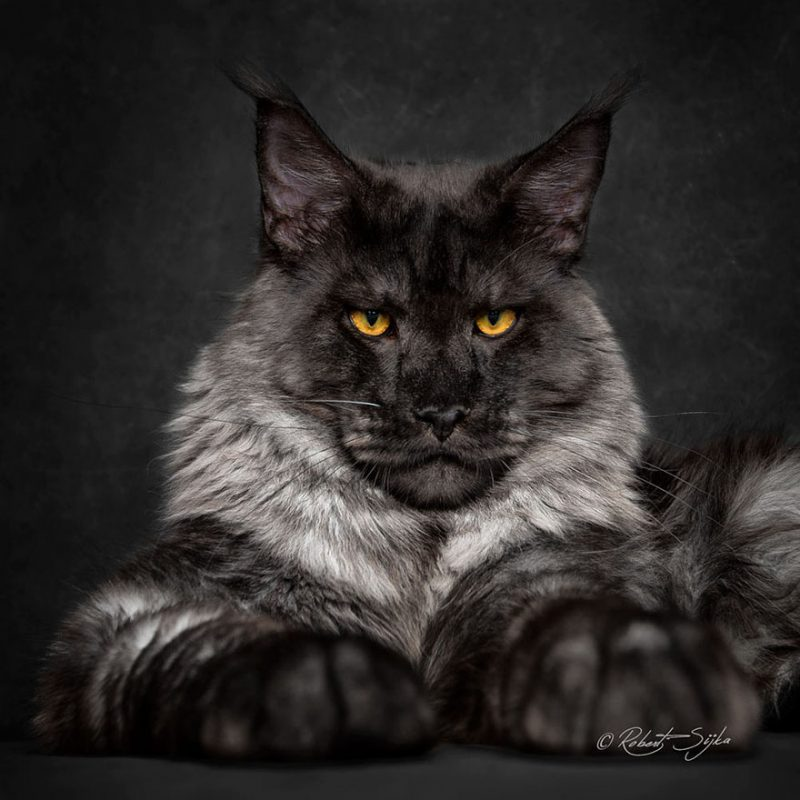 biggest-cat-maine-coon-photographs (13)