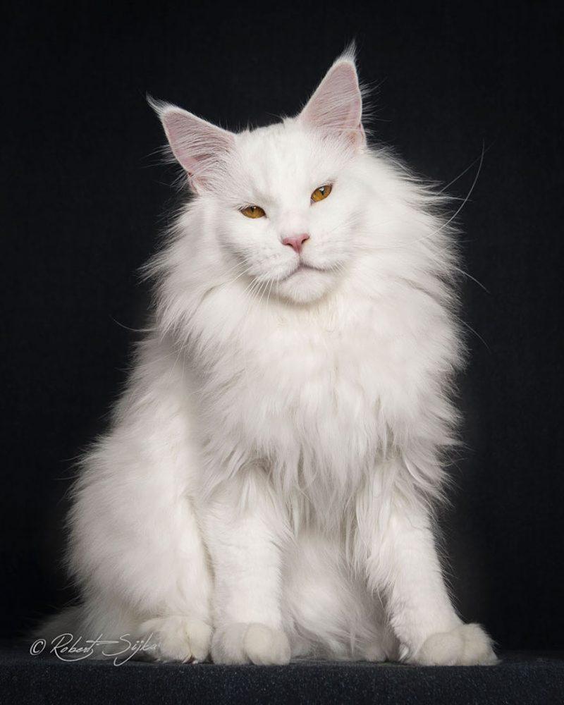 biggest-cat-maine-coon-photographs (14)