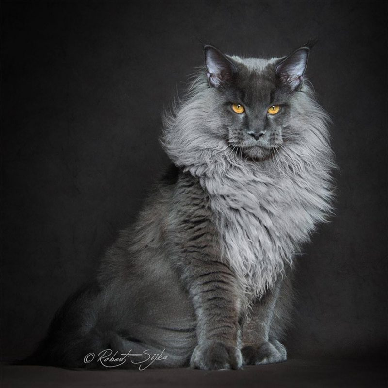 biggest-cat-maine-coon-photographs (15)