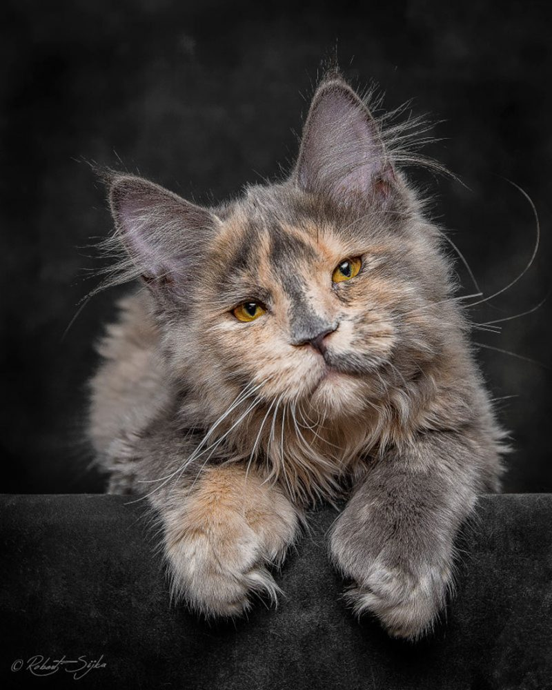 Mesmerizing portraits of Maine Coons look like royal