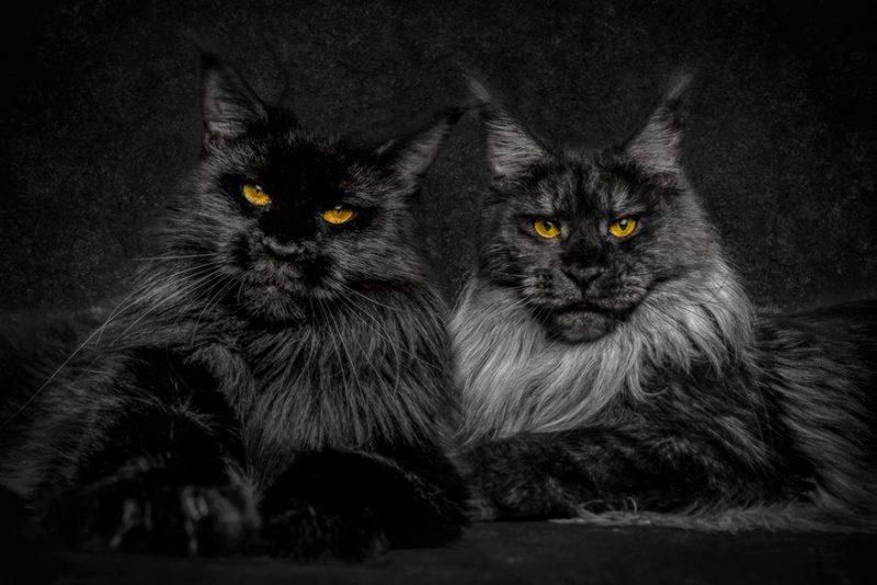 biggest-cat-maine-coon-photographs (4)