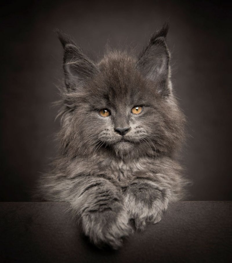 biggest-cat-maine-coon-photographs (5)