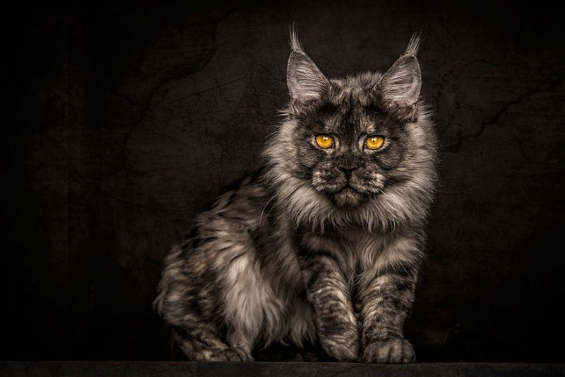 biggest-cat-maine-coon-photographs (6)