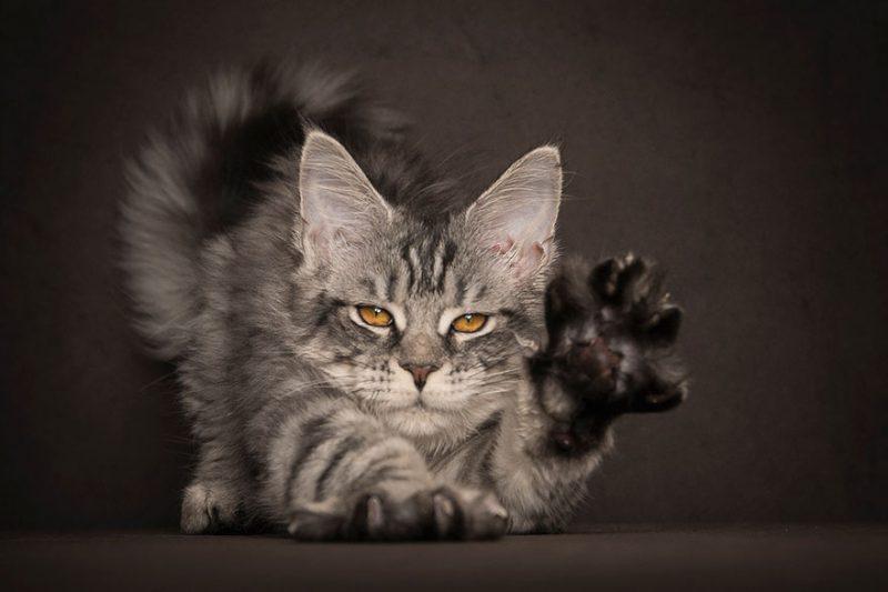 biggest-cat-maine-coon-photographs (7)