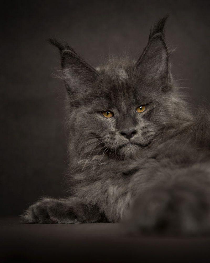 biggest-cat-maine-coon-photographs (8)