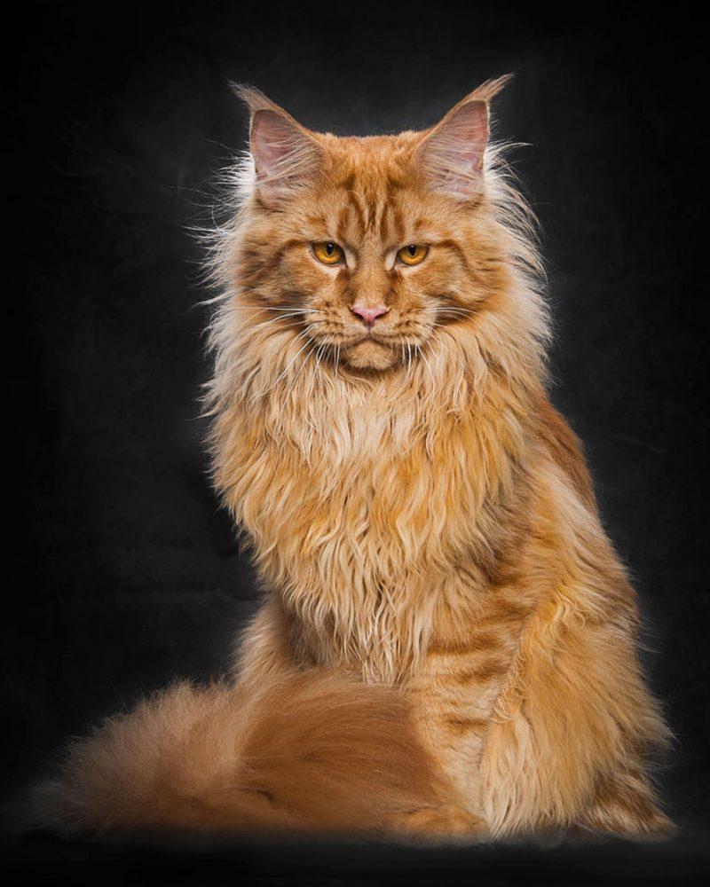 biggest-cat-maine-coon-photographs (9)