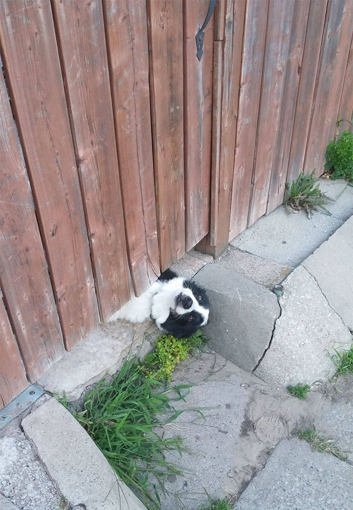 funny-hilarious-dogs-sticking-heads-through-fences-holes (10)