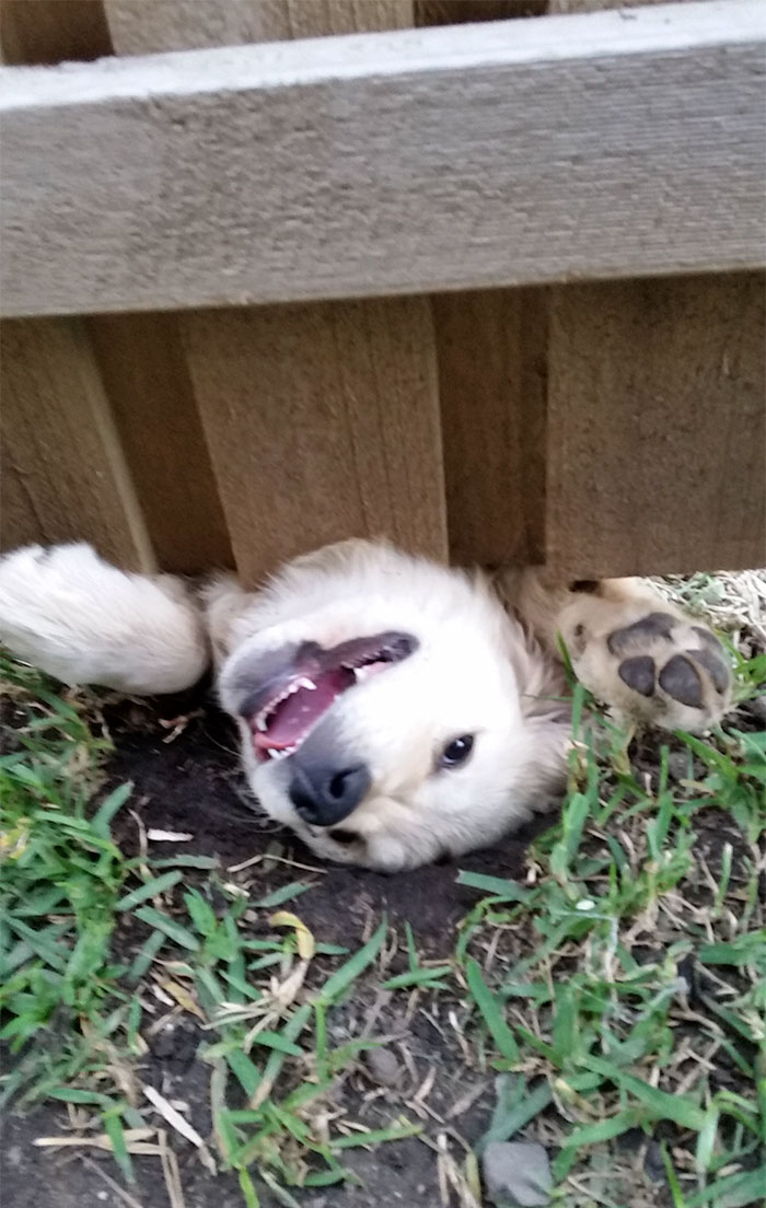 funny-hilarious-dogs-sticking-heads-through-fences-holes (4)