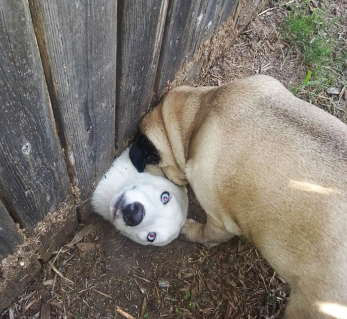 funny-hilarious-dogs-sticking-heads-through-fences-holes (5)