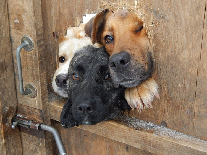 funny-hilarious-dogs-sticking-heads-through-fences-holes (7)
