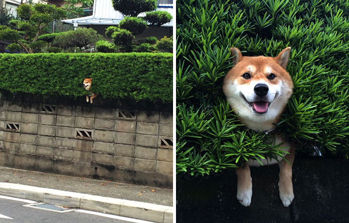 funny-hilarious-dogs-sticking-heads-through-fences-holes (8)