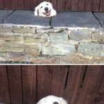 funny-hilarious-dogs-sticking-heads-through-fences-holes (9)