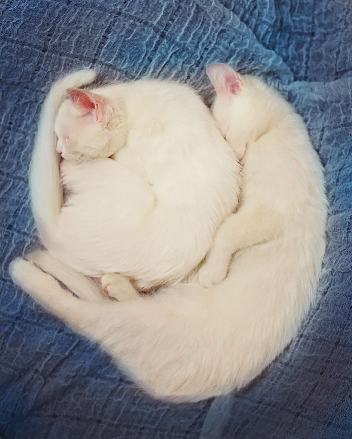 most-beautiful-white-cat-twin-heterochromatic-eyes-iriss-abyss (1)