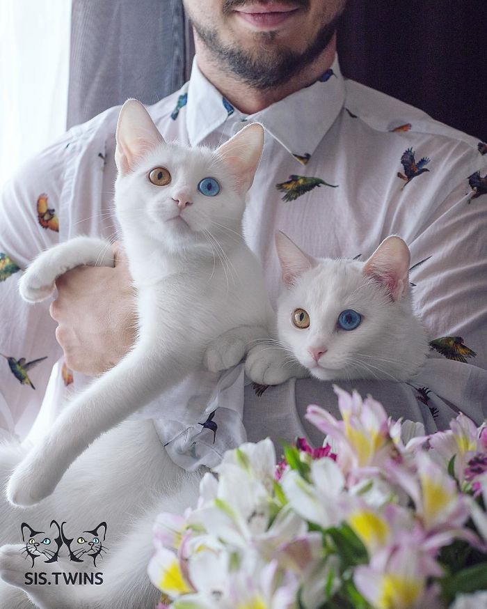 most-beautiful-white-cat-twin-heterochromatic-eyes-iriss-abyss (10)