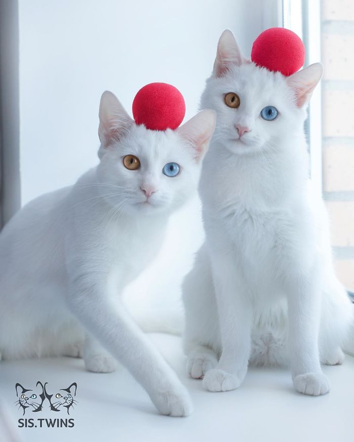 most-beautiful-white-cat-twin-heterochromatic-eyes-iriss-abyss (11)