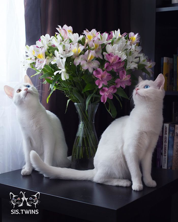 most-beautiful-white-cat-twin-heterochromatic-eyes-iriss-abyss (12)