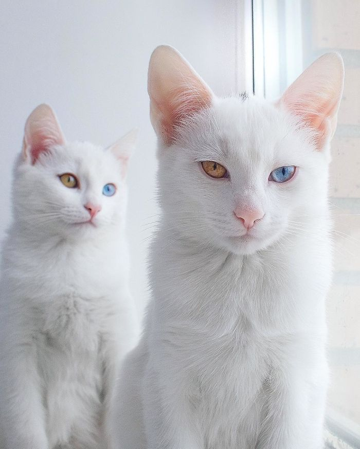 most-beautiful-white-cat-twin-heterochromatic-eyes-iriss-abyss (2)