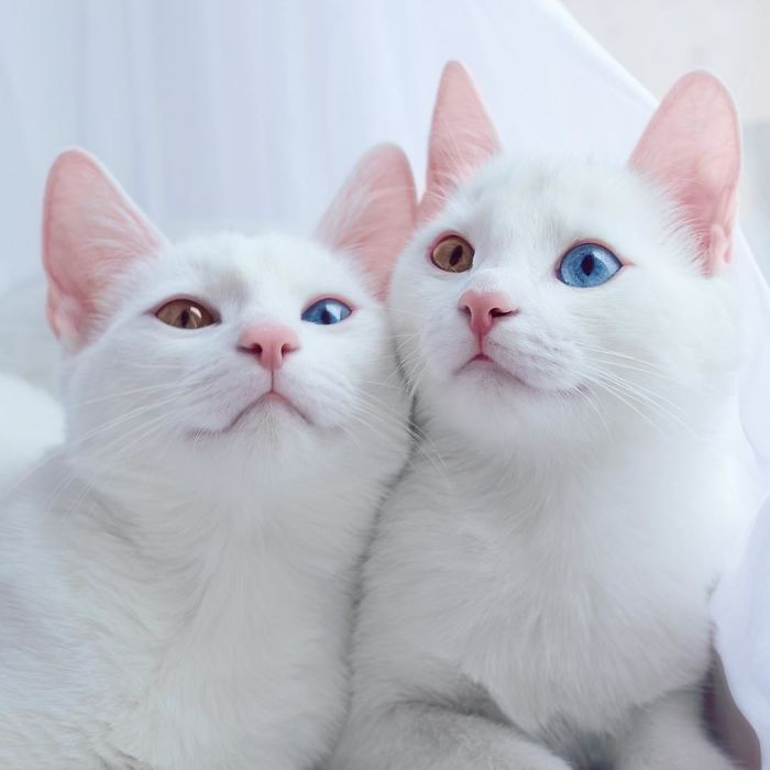 most-beautiful-white-cat-twin-heterochromatic-eyes-iriss-abyss (3)