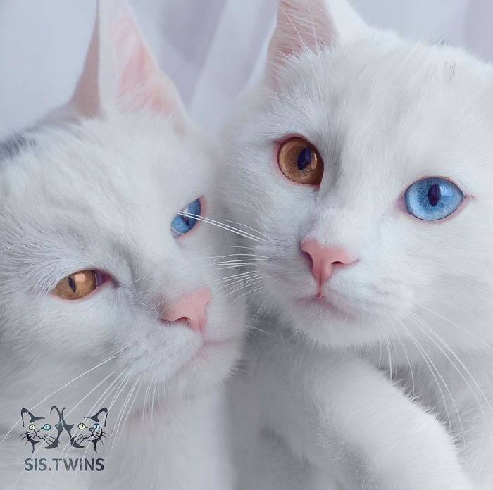 most-beautiful-white-cat-twin-heterochromatic-eyes-iriss-abyss (4)