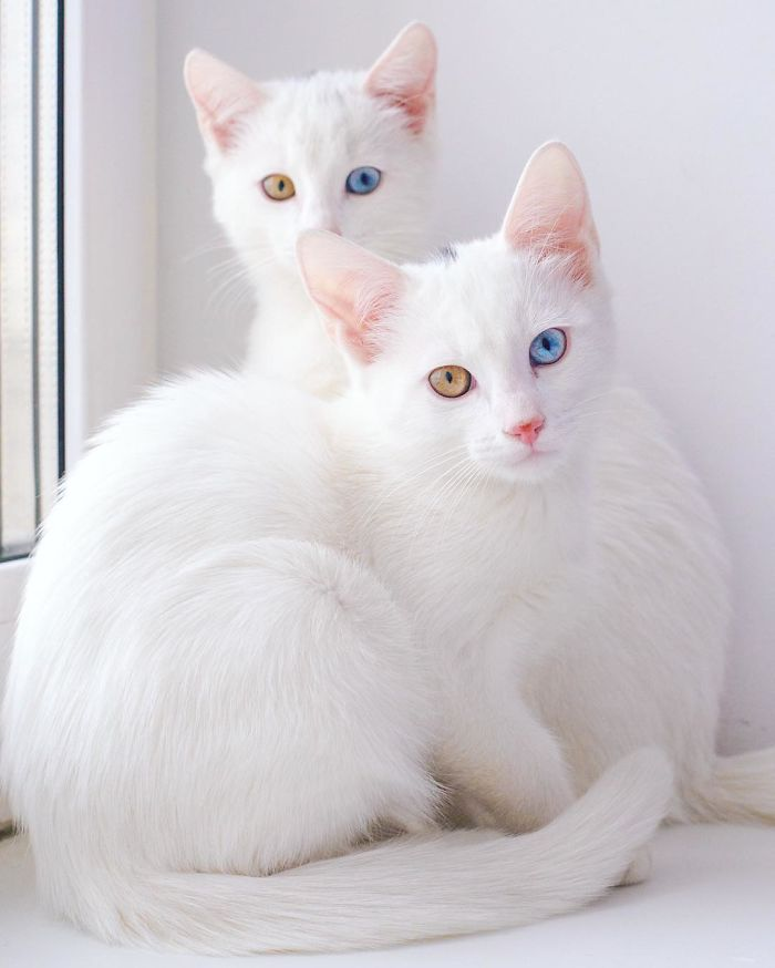 most-beautiful-white-cat-twin-heterochromatic-eyes-iriss-abyss (6)