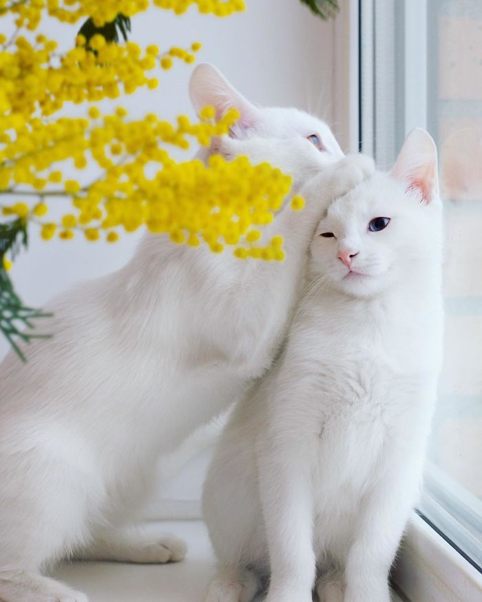 most-beautiful-white-cat-twin-heterochromatic-eyes-iriss-abyss (8)