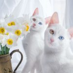 Two cats with stunning heterochromatic eyes are called the most beautiful twin cats in the world