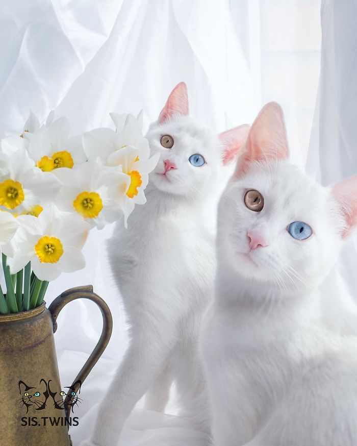 most-beautiful-white-cat-twin-heterochromatic-eyes-iriss-abyss (9)