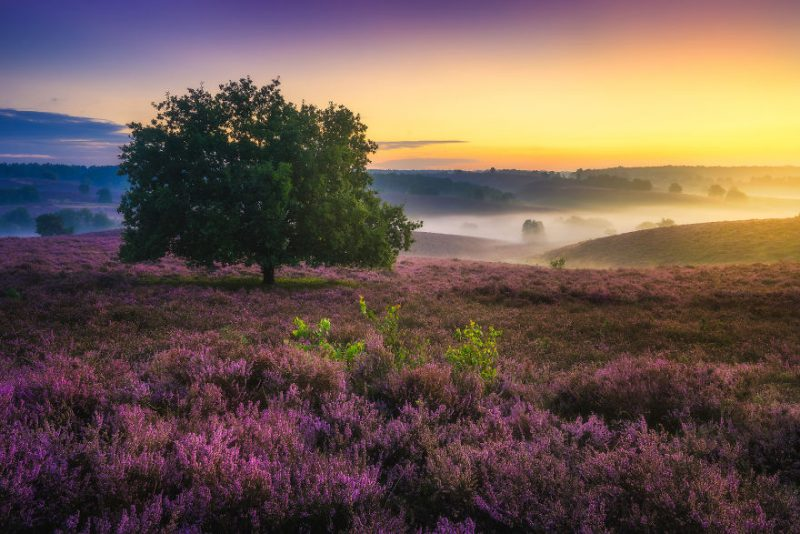 purple-heaven-beautiful-netherlands-landcapes-pictures