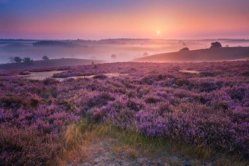 purple-hills-beautiful-netherlands-landcapes-pictures