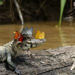 Unusual photo of a crocodile wearing a crown of butterflies looks like a fairytale scene
